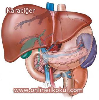Karaciğer ve Önemi