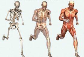İskelet kas ve hareket