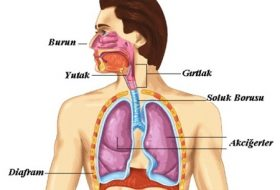 Solunumda Görevli Yapı ve Organlar
