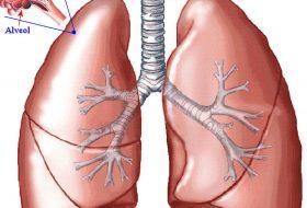 Kandaki karbondioksitin dışarı atılmasını sağlayan organımız hangisidir?