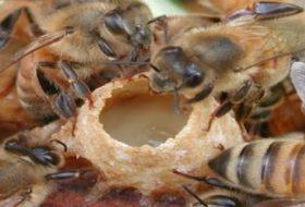 Arı sütü nedir ve nasıl üretilir?