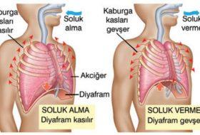 Kasılıp gevşeyerek solunuma yardımcı olan organ nedir?