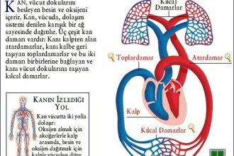 Kan Dolaşımında Görevli Yapı ve Organlar